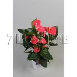 Антуриум андрианум Ариса розовый