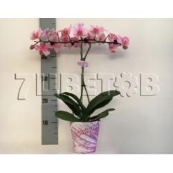 Фаленопсис королевский Розовый 2 ст нимб