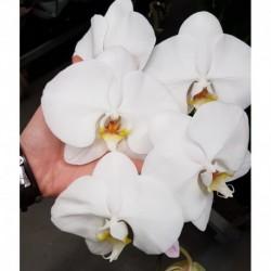 Фаленопсис крупноцветковый Белый 1 ст