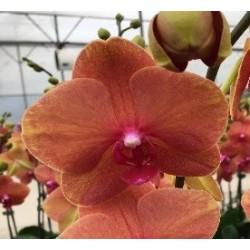 Фаленопсис крупноцветковый Тангерин 1 ст