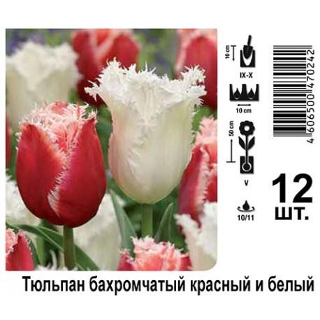 Тюльпан бахромчатый красный и белый