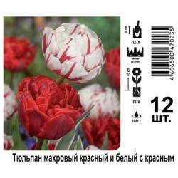Тюльпан махровый красный и белый с красным