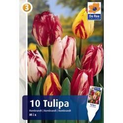 Тюльпаны рембрандт микс